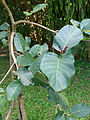 Bakhmee-Nauclea orientalis-Sri Lanka (1).jpg