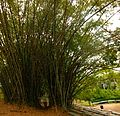 Bamboo in front of Kakum National Park.jpg