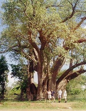 Baobab tree near Victoria Lakes 1000 years old