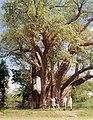 Baobab-Victoria Lakes.jpg