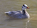 Bar-headed Goose RWD1.jpg