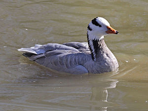 Bar-headed goose - Swimming at Sylvan Heights Waterfowl Park