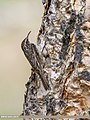 Bar-tailed Tree-creeper (Certhia himalayana) (35000504925).jpg