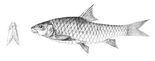 <i>Neolissochilus</i> genus of fishes