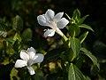 Barleria grandiflora Dalzell (22043099404).jpg