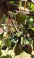 Barringtonia racemosa.jpg