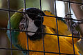 Beautiful Plumage Blue and gold Macaw (5751845075).jpg