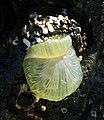 Beautiful Sea Anemone.jpg