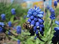 Bee Apis mellifica on Muscari comosum (Sakhalin) 2.JPG