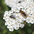 Bee and fly on a flower (5542742605).jpg