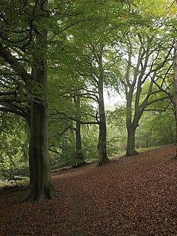 Beech trees near Banstead Wood - geograph.org.uk - 583966