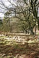 Beeches on Hill of Ryland - geograph.org.uk - 707129.jpg