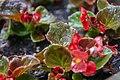 Begonia (Alabama Extension).jpg