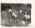 Bell Flower (campanula) LCCN2008676013.jpg