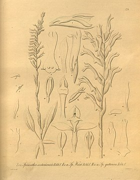 Beloglottis costaricensis (syn. Spiranthes costaricensis) - Xenia v. 2 (1874) tab. 179.jpg