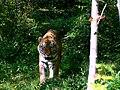 Bengal tiger Karaganda Zoo.jpg