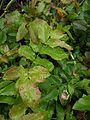 Berberis aquifolium mission canyon.jpg