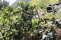 Berberis litoralis - Flickr - Pato Novoa.jpg