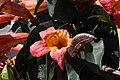 Bignonia capreolata Tangerine Beauty 0zz.jpg