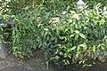 Bignonia capreolata Tangerine Beauty 3zz.jpg