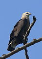 Bindenseeadler, Pallas's Fish Eagle.JPG