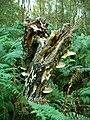 Birch Polypore (Piptoporus betulinus) - geograph.org.uk - 577363.jpg
