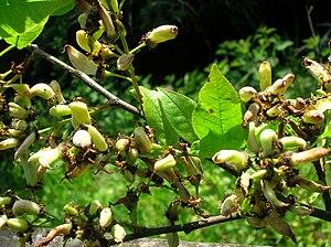 Taphrina padi - Pocket plum galls on bird cherry at Dalgarven Mill in Ayrshire, Scotland