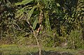 Bird Sauraha Baghmaara Chitwan 2018 (2).jpg