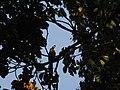 Bird White throated Brown Hornbill Anorrhinus austeni IMG 8142 02.jpg