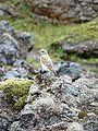 Bird in Landmannalaugar.JPG