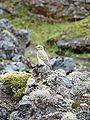 Bird in Landmannalaugar.JPG