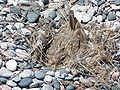 Bird nest beach Rhodos 07.JPG