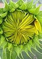 Birth of a Sunflower-01+ (291360394).jpg