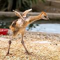 Birthday of grey crowned crane chick (5).jpg