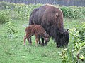 Bison and her newborn calf (22345028103).jpg