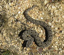 Bitis atropos, Berg Adder in the Cedarberg.jpg