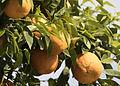 Bitter orange - Citrus × aurantium 01.jpg