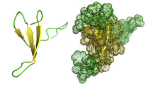 Beta hairpin - The Pin1 Domain. Peptidyl-prolyl cis-trans isomerase NIMA-interacting 1 (Pin1) – a 34-residue protein – is depicted above in two different ways. On the left, the reverse turns are easily seen in green, while the β-strands are seen in yellow. These come together to create a β-hairpin motif. The figure on the right depicts the same enzyme in a more three-dimensional aspect.