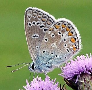 <i>Polyommatus</i> Butterfly genus in family Lycaenidae