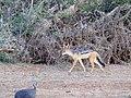 Black-backed jackal with brave guinea fowl (33362892525).jpg