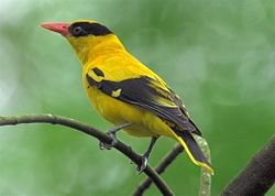 Oriole - Wikipedia, the free encyclopedia