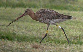Black-tailed Godwit eating an earthworm.jpg