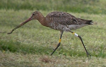 colour-ringed Black-tailed Godwit eating an ea...