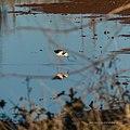 Black-winged stilt pond near Burke River Boulia Queensland P1030824.jpg