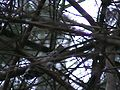Black And White Warbler Above Me.jpg