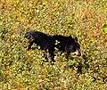 Black Bear 5 (8001740930).jpg