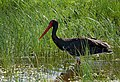 Black Stork (Ciconia nigra), Skala Kallonis, Lesvos, Greece, 11.04.2015 (17172165223).jpg