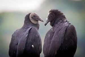Black vulture - Adult and juvenile, Hueston Woods State Park, Ohio
