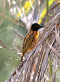 Black headed Village Weaver bird.jpg