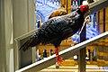 Black pheasant (38538753040).jpg